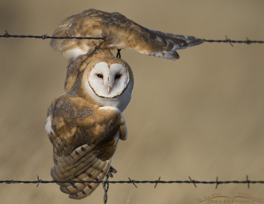 Barn Owl tangled up in barbed wire
