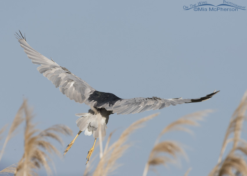 A Black-crowned Heron taking off from some phragmites