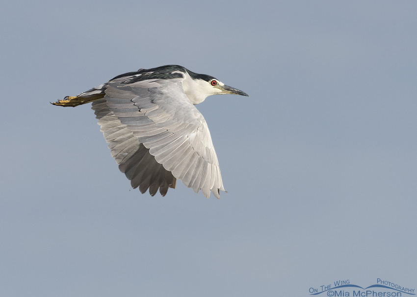 A Black-crowned Night Heron flying over the refuge