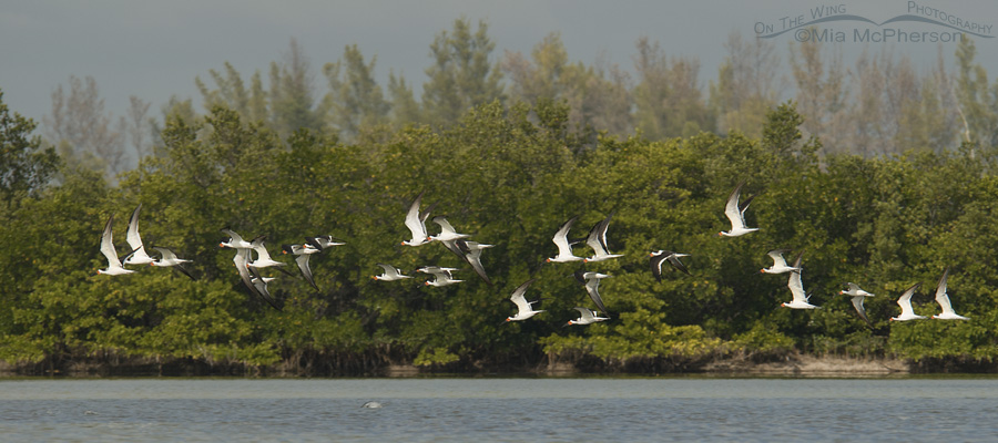 A scoop of Black Skimmers flying past Shell Key
