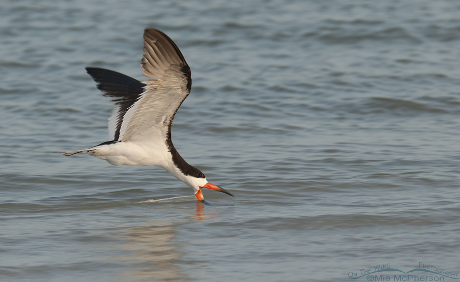 Black Skimmer skimming along north beach