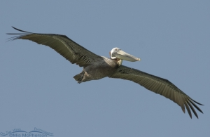 Brown Pelican in flight over the Gulf