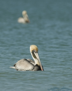 Vertical Brown Pelican floating on the Gulf