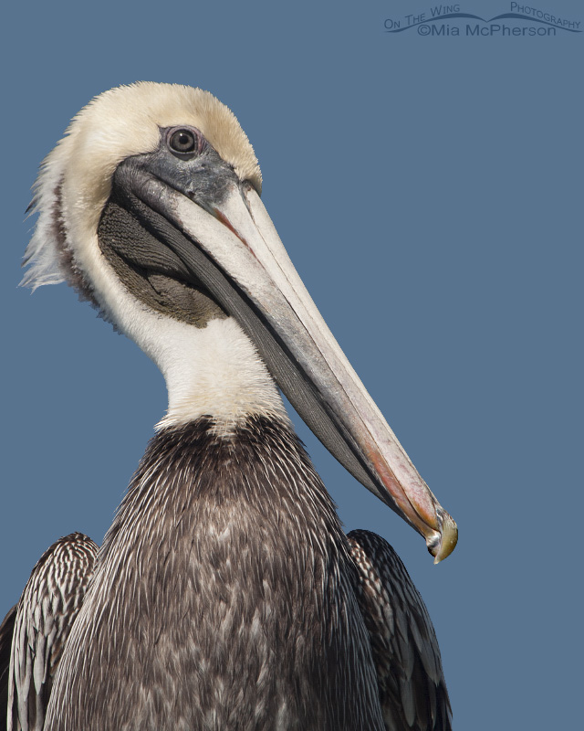 Adult Brown Pelican on a post