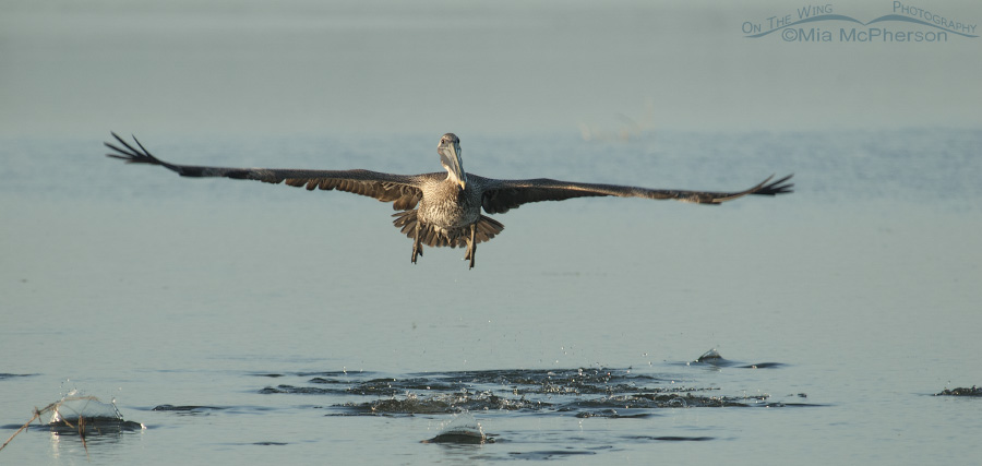 Brown Pelican scaring fish as it flew over