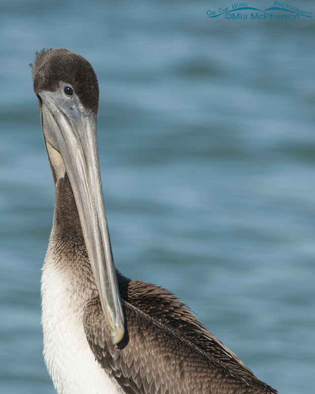 Brown Pelican juvenile portrait