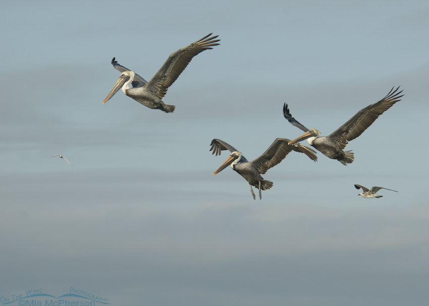Brown Pelicans in an early morning flight