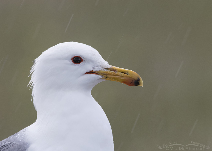 California Gull portrait in falling rain