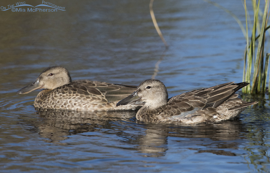A pair of nonbreeding Cinnamon Teal