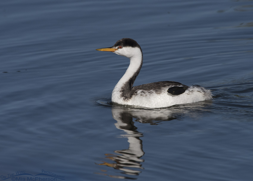 A non-breeding Clark's Grebe on cool, blue water