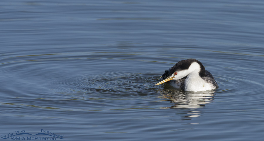 A Clark's Grebe scratching an itch