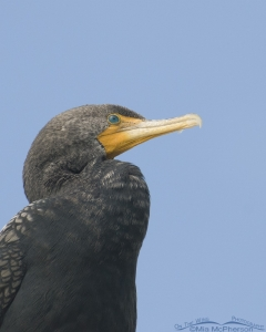 Double-crested Cormorant on a light pole
