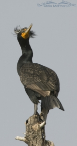 Double-crested Cormorant vertical pano