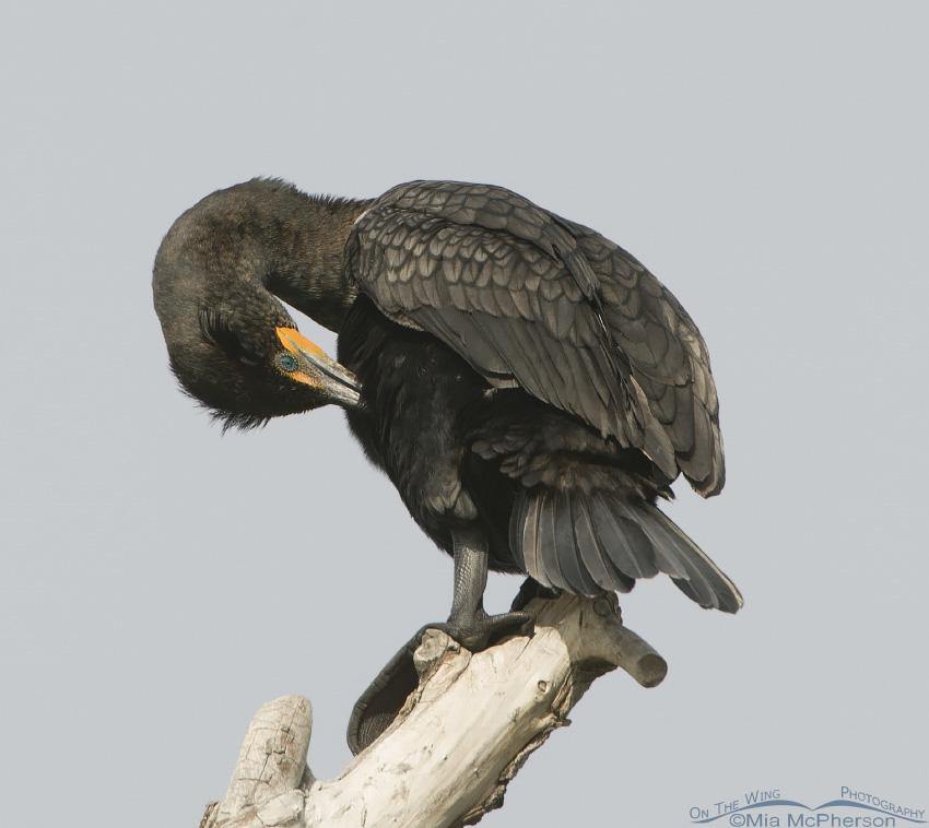 Preening Double-crested Cormorant