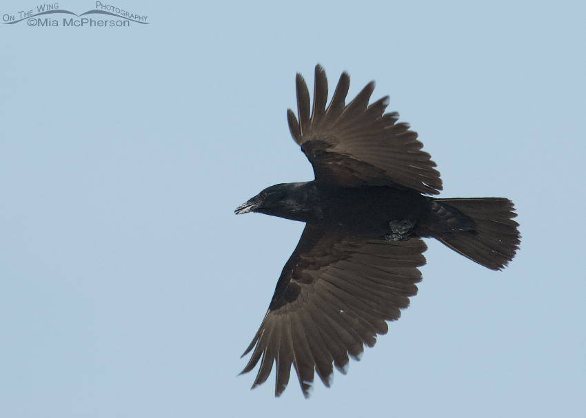 Fish Crow in flight over Egmont Key