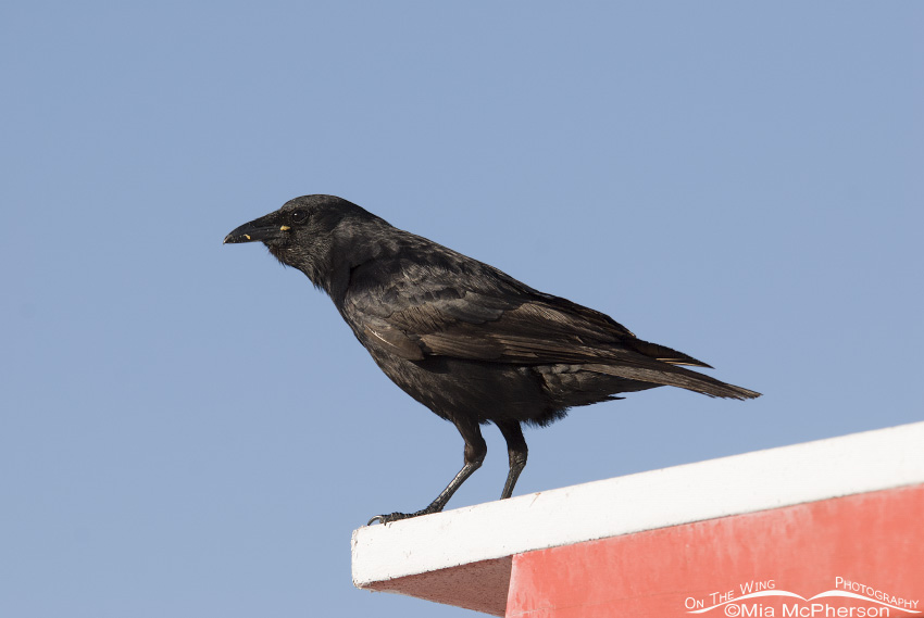 Fish Crow on lifeguard stand