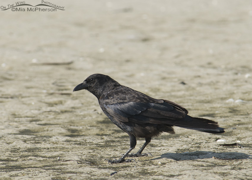 Fish Crow foraging the mudflats