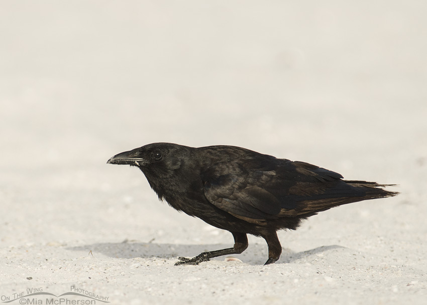 Fish Crow crouching in the sand