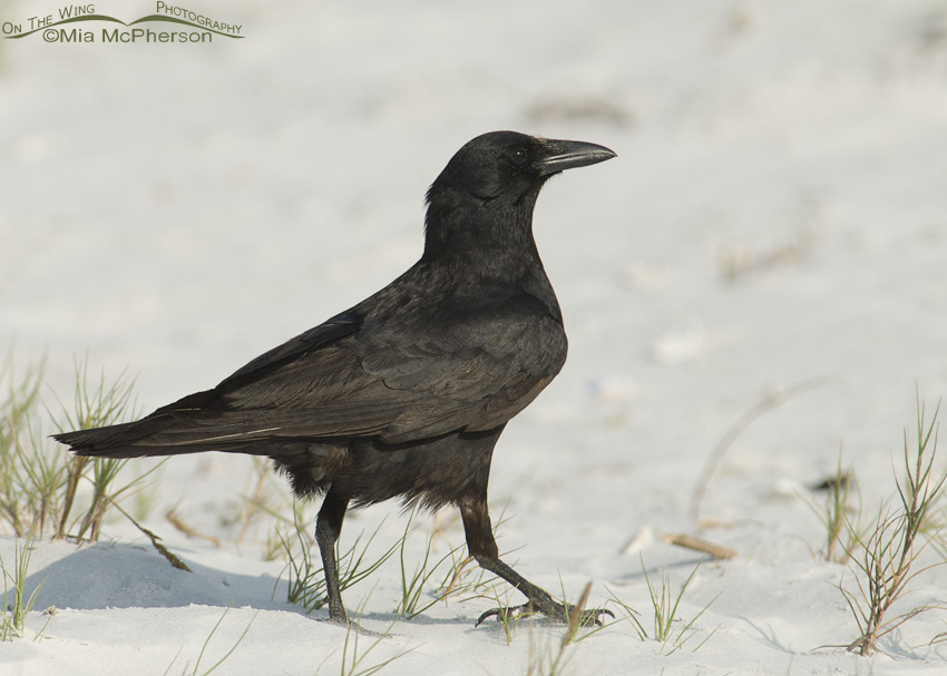 Strutting Fish Crow