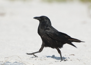 A Fish Crow walking past me