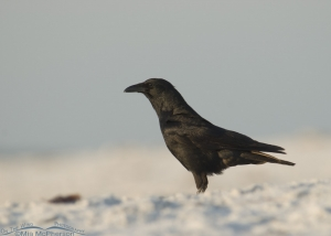 A Fish Crow in blowing wind