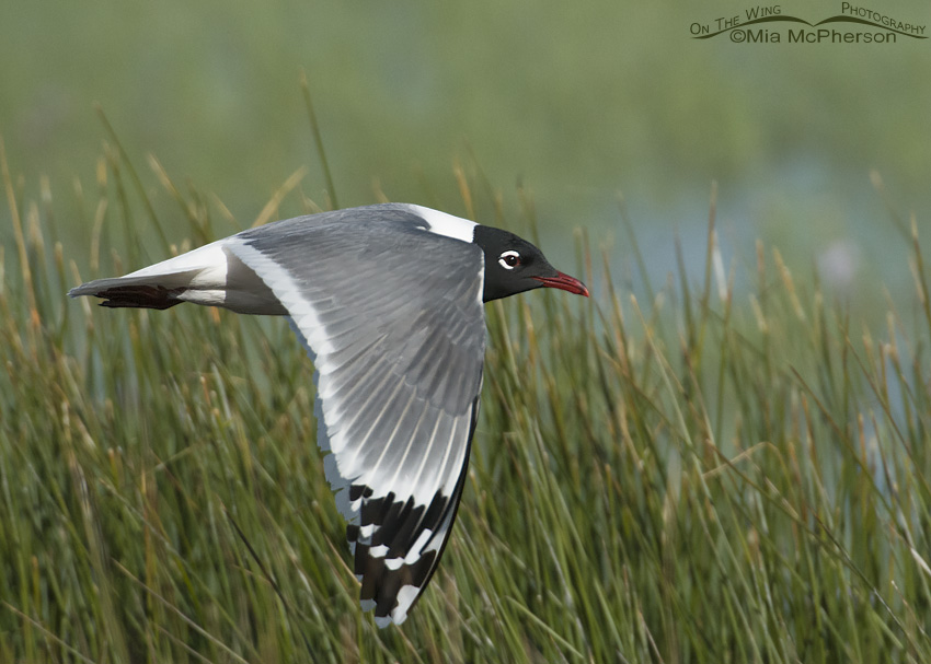 Franklin's Gull in breeding plumage