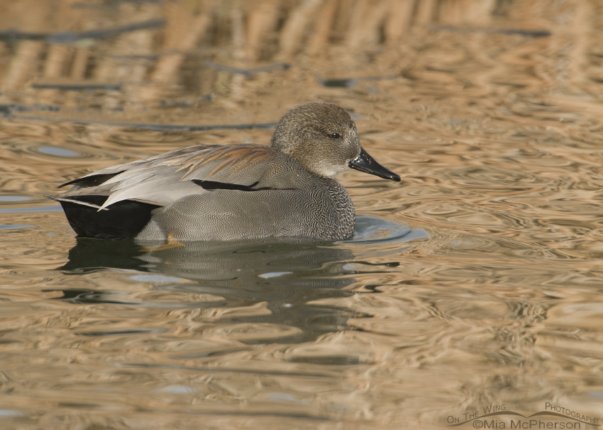 Gadwall in golden reflections