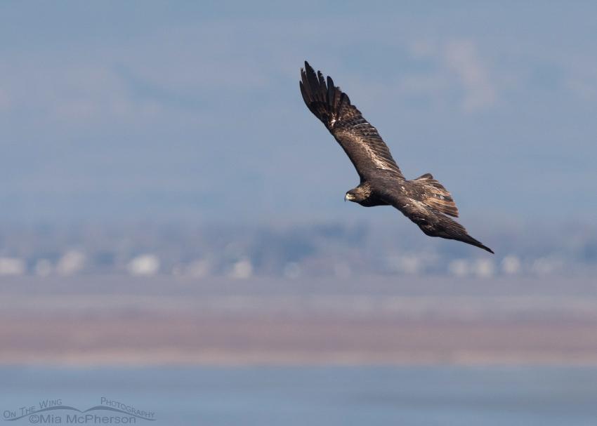 Golden Eagle soaring over the Great Salt Lake