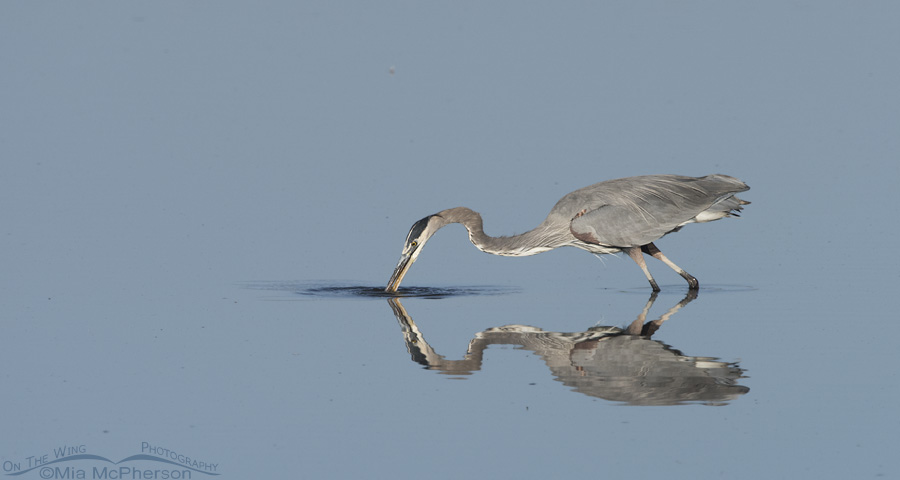 Great Blue Heron fishing at Farmington Bay