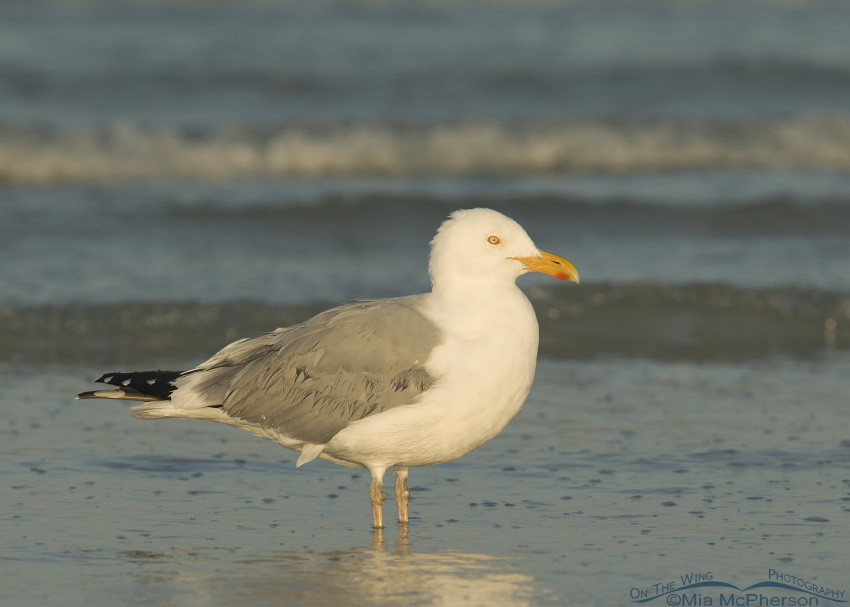 Herring Gull Images