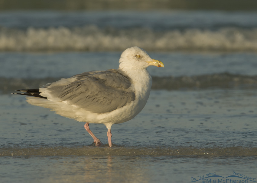 Herring Gull in early morning light
