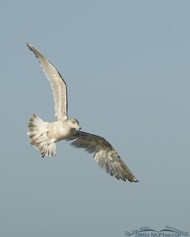 Juvenile Herring Gull in flight over north beach