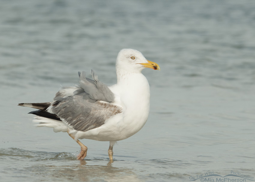 Molting Herring Gull