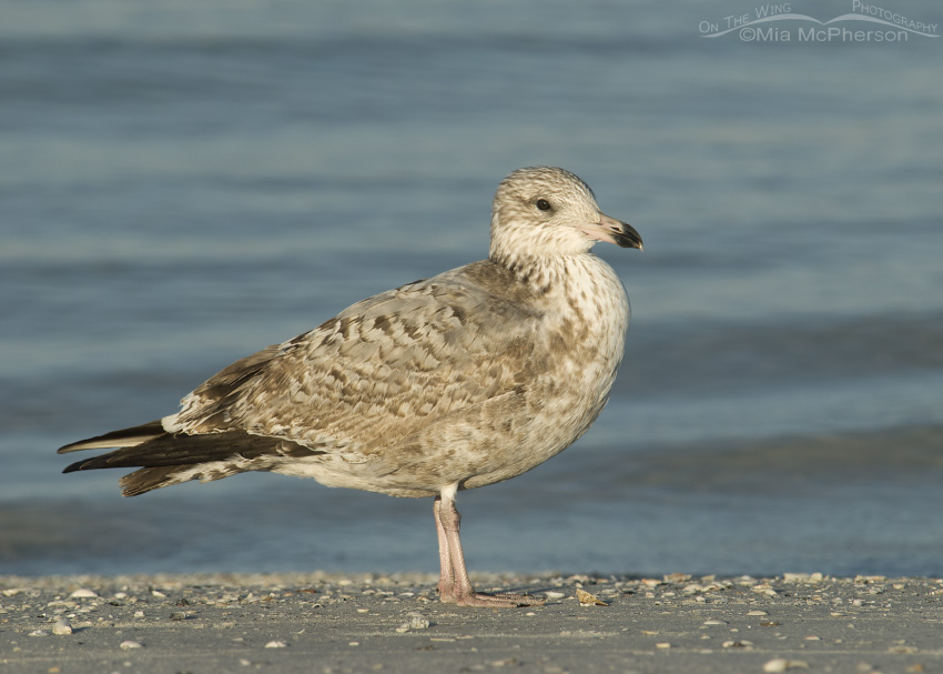Young Herring Gull on shoreline