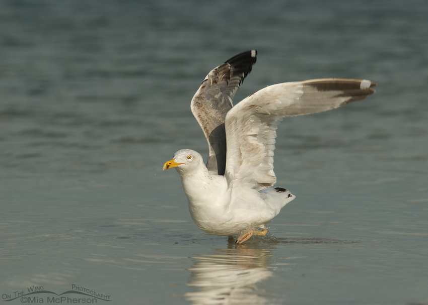 Herring Gull lift off