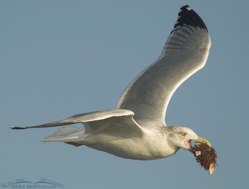 Herring Gull with Urchin