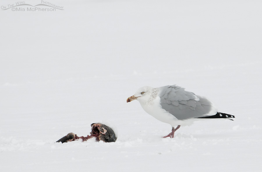 Herring Gull in the snow