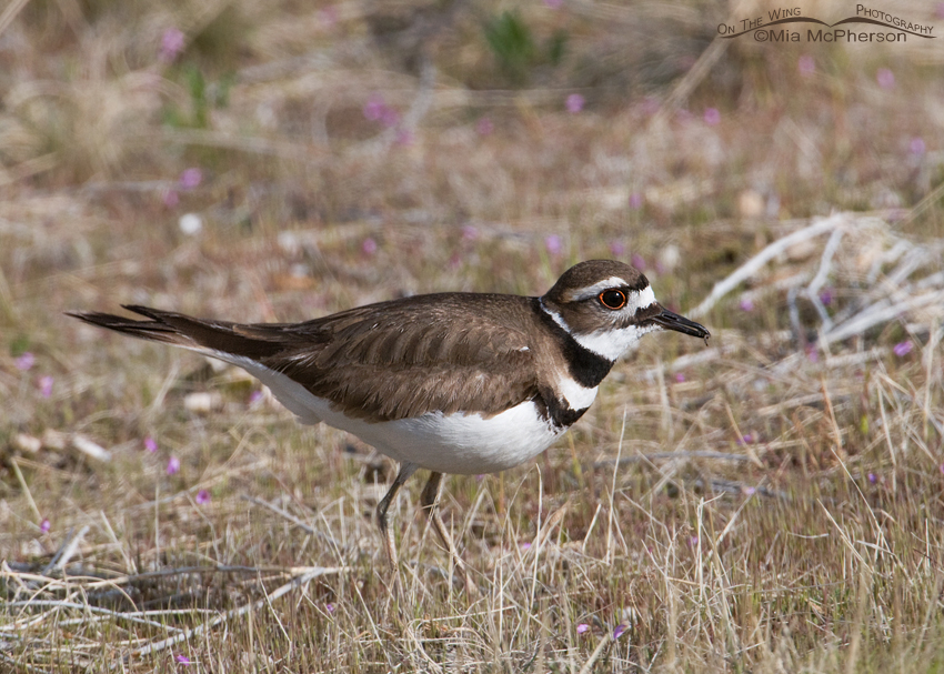 Springtime Killdeer on Antelope Island