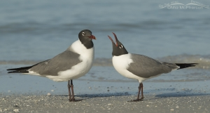 Pair of Laughing Gulls, one calling