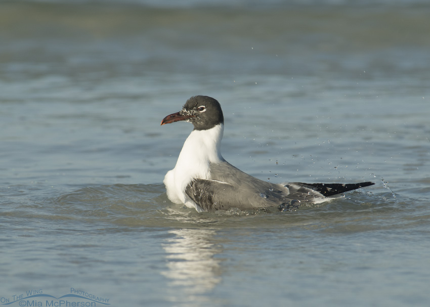Splashing Laughing Gull