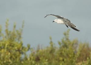 Laughing Gull flying over sand dune