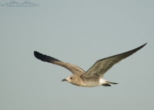Young Laughing Gull