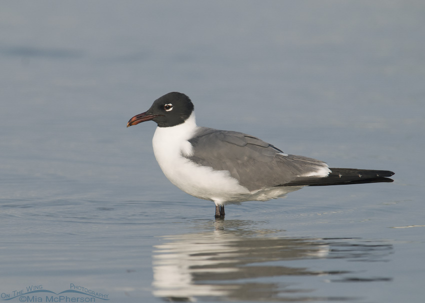 Laughing Gull in calm water