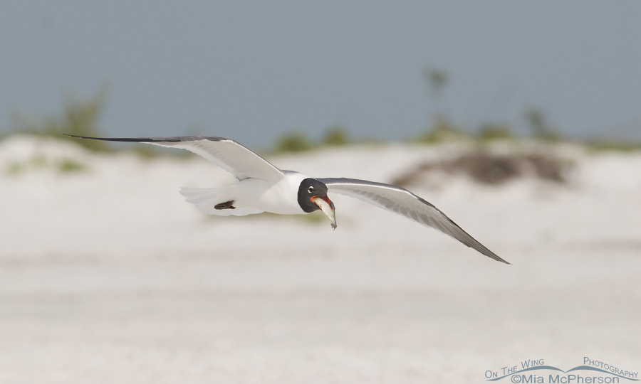 Laughing Gull with fish