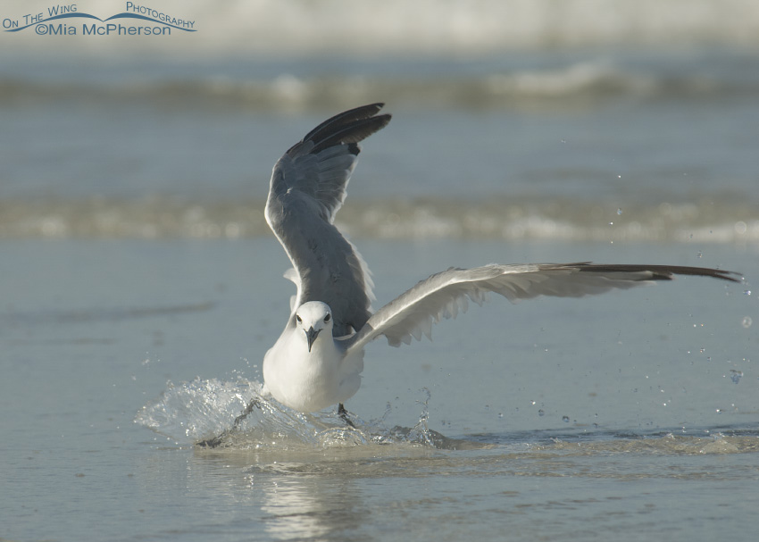 Laughing Gull slip sliding away...