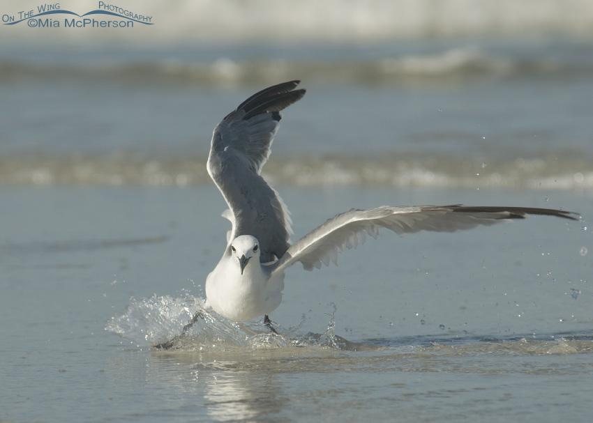 Laughing Gull slip sliding away...