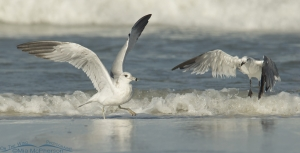 Ring-billed and Laughing Gulls fighting for food