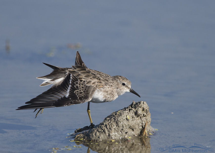 A stretching Least Sandpiper