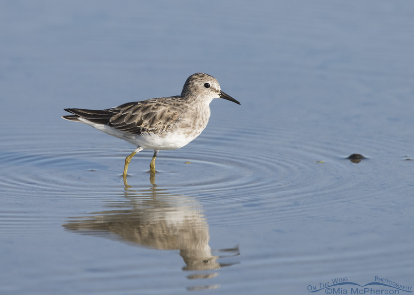 Least Sandpiper at Farmington Bay