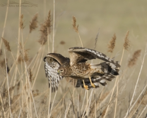 Northern Harrier hunting in the phragmites